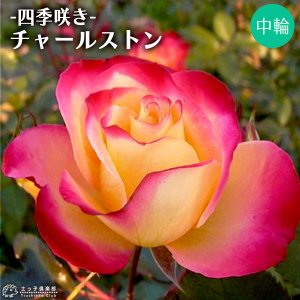 四季咲き中輪 『 チャールストン 』 2年生接 ぎ木苗 (フロリバンダローズ)|produce87