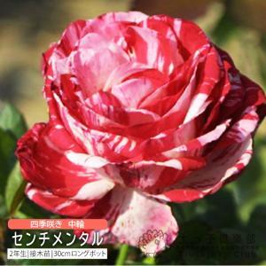 四季咲き中輪 『 センチメンタル 』 2年生接 ぎ木苗 (フロリバンダローズ)|produce87