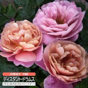 四季咲き中輪 『 ディスタント・ドラムス 』 2年生接 ぎ木苗 (フロリバンダローズ)|produce87