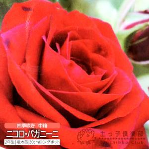 四季咲き中輪 『 ニコロ・パガニーニ 』 2年生接 ぎ木苗 (フロリバンダローズ)|produce87
