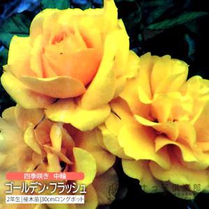 四季咲き中輪 『 ゴールデン・フラッシュ 』 2年生接 ぎ木苗 (フロリバンダローズ)|produce87