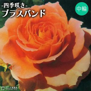 四季咲き中輪 『 ブラスバンド 』 2年生接 ぎ木苗 (フロリバンダローズ)|produce87
