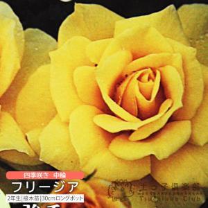 四季咲き中輪 『 フリージア 』 2年生接 ぎ木苗 (フロリバンダローズ) 強香|produce87