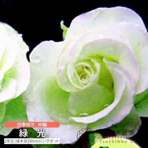 四季咲き中輪 『 緑光 』 2年生接 ぎ木苗 (フロリバンダローズ)|produce87
