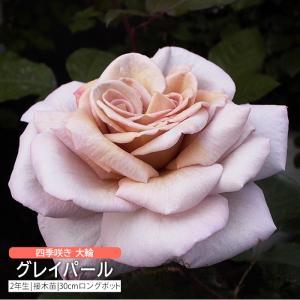 四季咲き大輪 『 グレイパール 』 2年生 接ぎ木苗 ( ハイブリットティーローズ )|produce87
