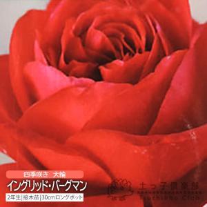 四季咲き大輪 『 イングリッド・バーグマン 』 2年生 接ぎ木苗 ( ハイブリットティーローズ ) 強香|produce87