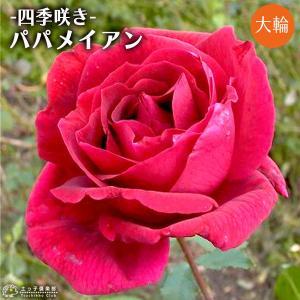 四季咲き大輪  『 パパメイアン 』 2年生 接ぎ木苗 ( ハイブリットティーローズ )|produce87