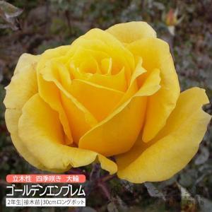 四季咲き大輪 『 ゴールデンエンブレム 』 2年生 接ぎ木苗 ( ハイブリットティーローズ )|produce87