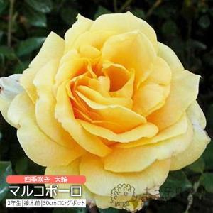 四季咲き大輪 『 マルコポーロ 』 2年生接 ぎ木苗 ( ハイブリットティーローズ ) 強香|produce87