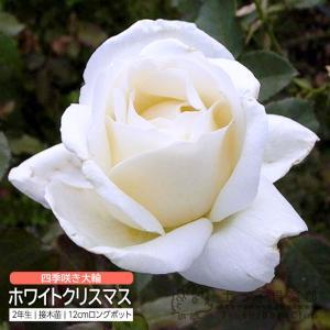 四季咲き大輪 『 ホワイトクリスマス 』 2年生接 ぎ木苗 ( ハイブリットティーローズ ) 強香|produce87