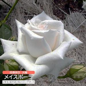 四季咲き大輪 『 メイスポーラ 』 2年生接 ぎ木苗 ( ハイブリットティーローズ )|produce87
