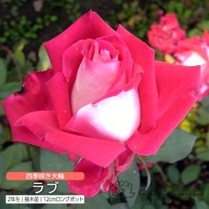 四季咲き大輪 『 ラブ 』 2年生接 ぎ木苗 ( ハイブリットティーローズ )|produce87