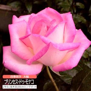 四季咲き大輪 『 プリンセス・ドゥ・モナコ 』 2年生接 ぎ木苗 ( ハイブリットティーローズ )|produce87
