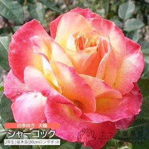 四季咲き大輪 『 シャーコック 』 2年生接 ぎ木苗 ( ハイブリットティーローズ )|produce87