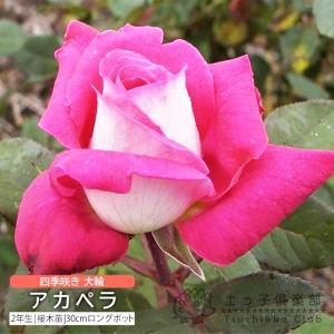 四季咲き大輪 『 アカペラ 』 2年生接 ぎ木苗 ( ハイブリットティーローズ )|produce87