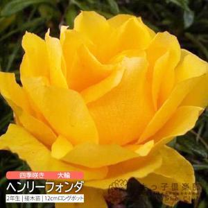四季咲き大輪 『ヘンリーフォンダ』 2年生接ぎ木苗 (ハイブ...