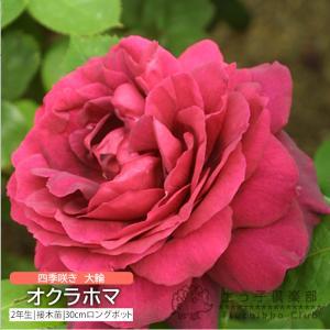 四季咲き大輪 『 オクラホマ 』 2年生接 ぎ木苗 ( ハイブリットティーローズ )|produce87