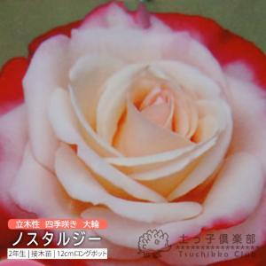 四季咲き大輪 『 ノスタルジー 』 2年生接 ぎ木苗 ( ハイブリットティーローズ )|produce87