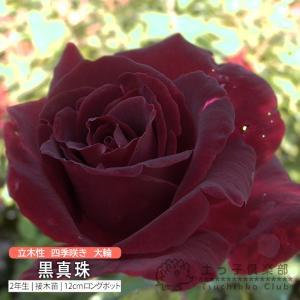 四季咲き大輪 『 黒真珠 』 2年生接 ぎ木苗 ( ハイブリットティーローズ )|produce87