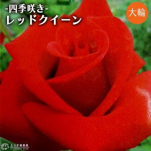 四季咲き大輪 『 レッドクイーン 』 2年生接 ぎ木苗 ( ハイブリットティーローズ )|produce87