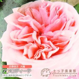 四季咲き大輪 『 アフロディーテ 』 2年生接 ぎ木苗 ( ハイブリットティーローズ )|produce87