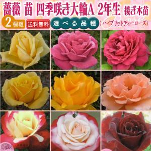 四季咲き大輪 A 選べる品種 2個セット 送料無料 2年生接 ぎ木苗 ( ハイブリットティーローズ )|produce87