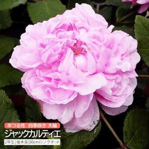 オールドローズ 四季咲き 『 ジャックカルティエ 』 2年生接 ぎ木苗 (半つる性) 大輪咲  四季咲|produce87