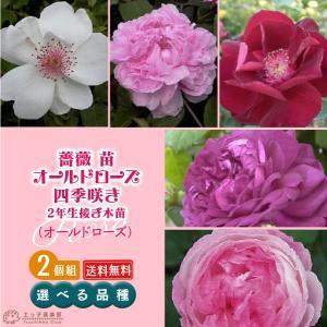 2個セット 薔薇 苗 オールドローズ四季咲き 【選べる品種】2年生接 ぎ木苗 送料無料|produce87
