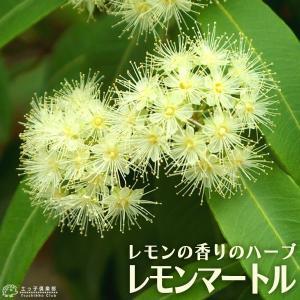 レモンの香りの 『 レモンマートル 』 10.5cmポット苗|produce87
