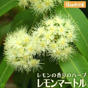 レモンの香りの 『 レモンマートル 』 12cmポット苗|produce87