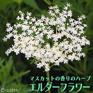 エルダーフラワー ( 西洋ニワトコ ) 細葉 9cmポット苗|produce87