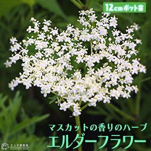 エルダーフラワー ( 西洋ニワトコ ) 細葉 12cm(4号)ポット苗|produce87