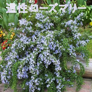 ローズマリー (這性タイプ) 9cmポット苗|produce87