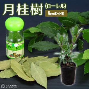 月桂樹  (ローレル ) 9cmポット苗 |produce87