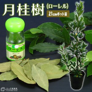月桂樹 ( ローレル ) 21cmポット 大苗|produce87