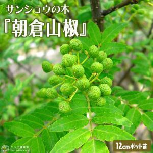 山椒 『 朝倉サンショウ 』 12cmポット接木苗 ( 2年生 )|produce87