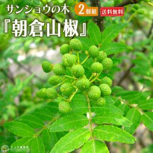 山椒 『朝倉サンショウ』 2個セット ( 送料無料 ) 10.5cmポット接木苗|produce87