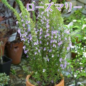 ローズマリー 9cmポット苗 |produce87