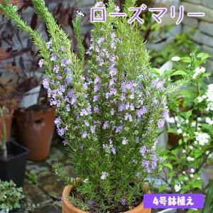 ローズマリー 4号鉢植え ( ハーブ 苗 )|produce87