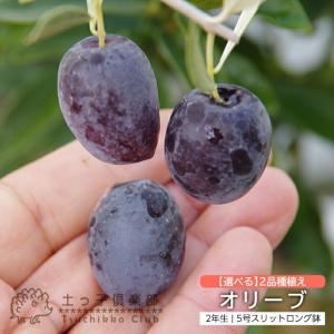 オリーブ 2品種植え ( 2年生 )5号スリット鉢 produce87