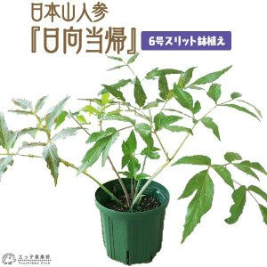 日本山人参 『 ヒュウガトウキ ( 日向当帰 ) 』 6号スリット鉢植え|produce87