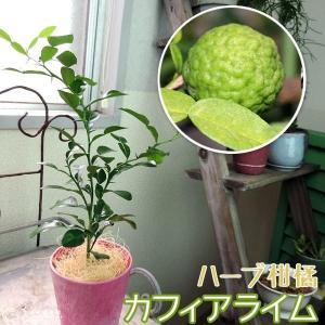 ハーブ柑橘 『 カフィアライム 』 こぶみかん  9cmポット苗|produce87