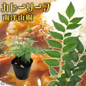 カレーの木 『 カレーリーフ 』 9cmポット苗 (ナンヨウザンショウ、オオバゲッキツ)|produce87