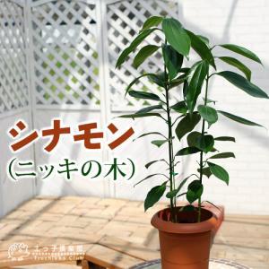 シナモン ( ニッキの木 )7号鉢植え|produce87