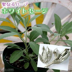 ホワイトセージ 6号スリット鉢植え|produce87