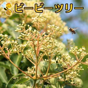 蜜源植物 『 ビービーツリー 』 9cmポット苗 (イヌゴシュユ)|produce87