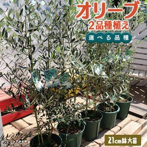 オリーブ 2品種植え ( 3年生 )7号スリット鉢 大苗 produce87