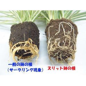 のびのび育つ 『 スリット鉢 』 20.5cm (7号) 送料無料 3個セット|produce87|05