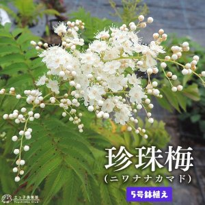 珍珠梅 (チンシバイ) 『ニワナナカマド』 5号鉢植え|produce87