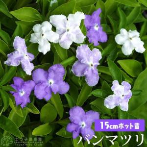 香るバンマツリ ( ニオイバンマツリ ) 15cm鉢植え|produce87